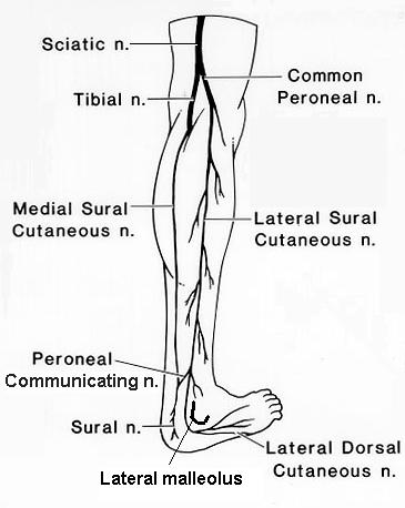 Lateral sural cutaneous nerve